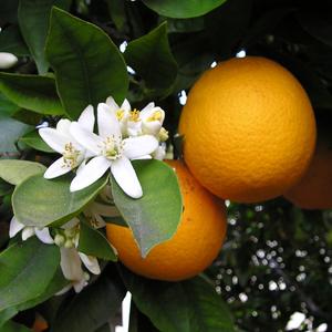 Orrange blossom
