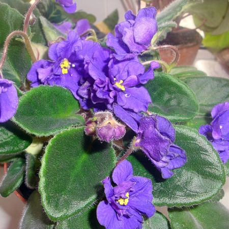 Violets in a pot