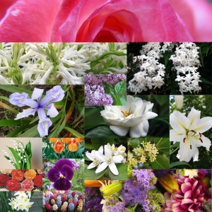 Favorite flowers in perfumes