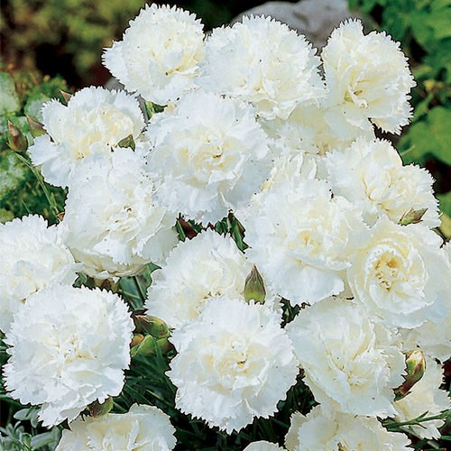 In the search for the perfect carnation undinas looking glass carnations mightylinksfo