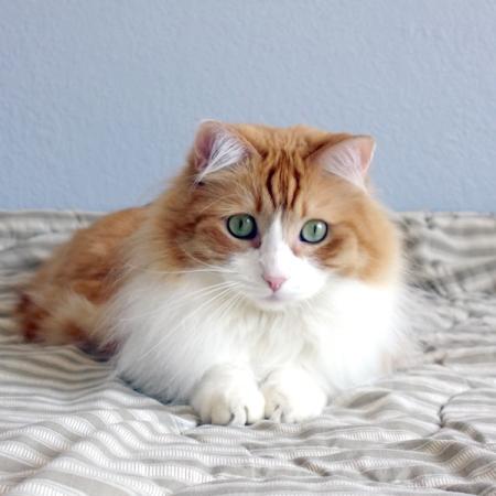 Medium hair orange tabby