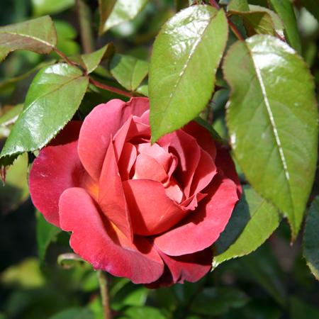 SF Rose Garden