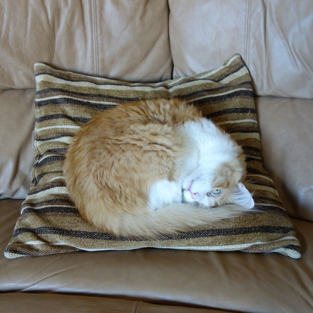 Rusty on the Pillow