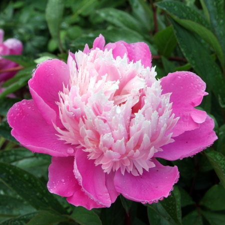 Pink Peopny