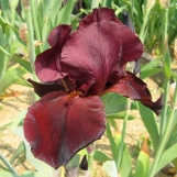 Red Iris Samurai Warrior