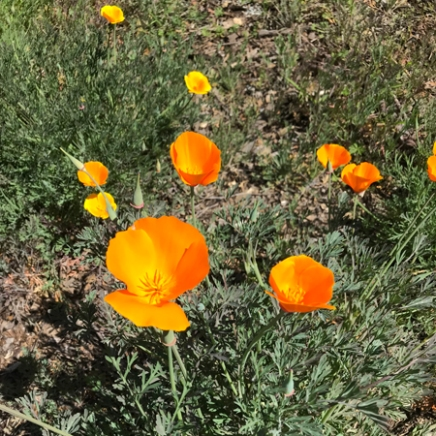 Wildflowers - California Poppy