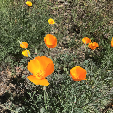 Wildflowers - California Poppy
