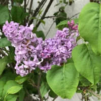 SF Walk Lilacs