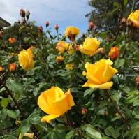 SF Walk Roses