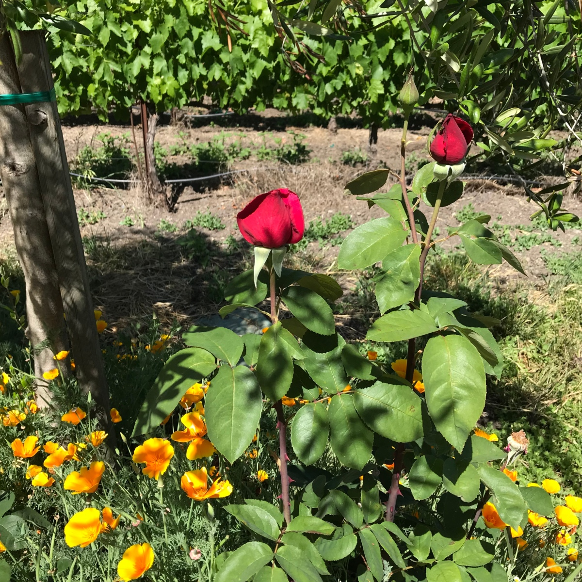 Roses And Poppies