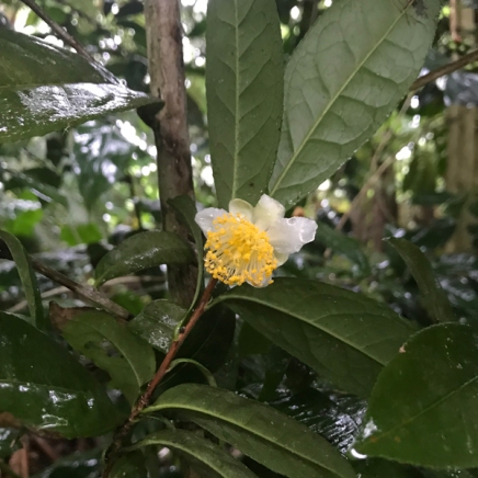 Big Island Tea Flower in the Rain