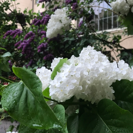 Lilacis