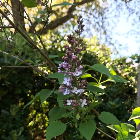 Lilacs in Sonoma 2019