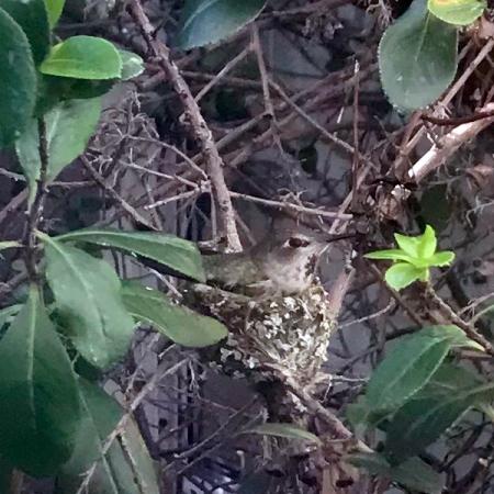 Hummingbird in the Nest