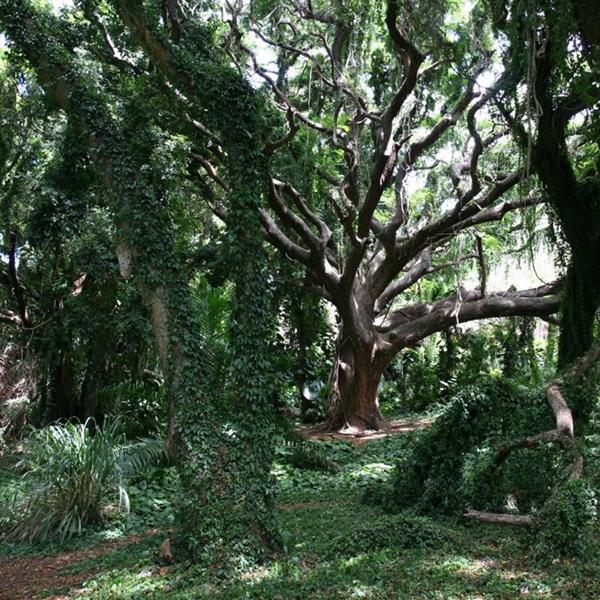 Tropical Forest Maui Hawaii