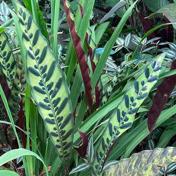 Hawai Tropical Bioreserve & Garden - Leaves